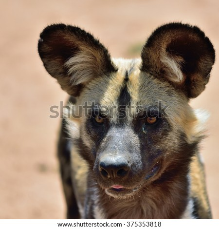 The African Wild Dog portrait in Namibia - stock photo