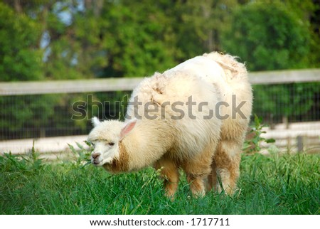 The Alpaca (Vicugna pacos) resembles a sheep in appearance, but is larger and has a long erect neck. - stock photo