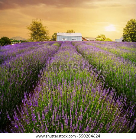 The Alphra Lavender Farm, North Island, New Zealand