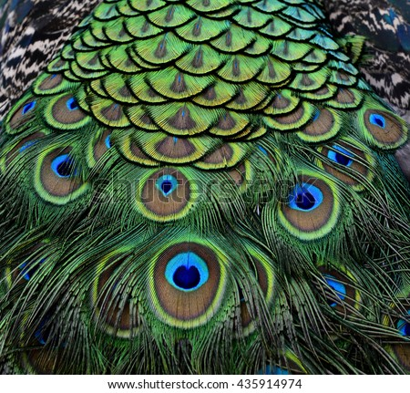 The amazing velvet green and blue spots on Indian Peacock body feathers, the most beautiful bird feathers background - stock photo