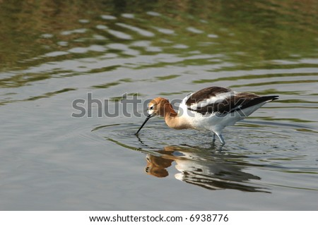 The American Avocet is a species of concern in much of it's historical range.