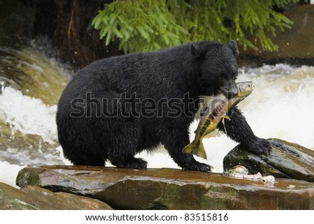 The American black bear catching fish. - stock photo