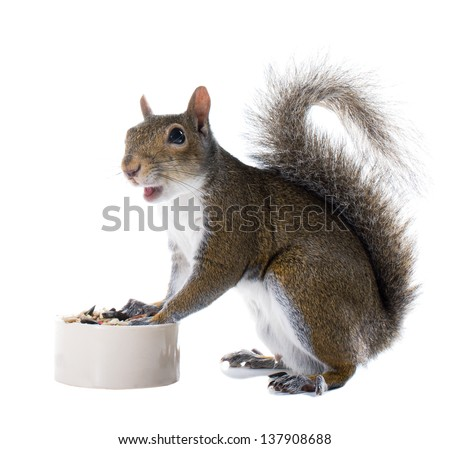 The American gray squirrel around the bowl of food isolated on white background - stock photo