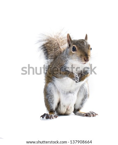 The American gray squirrel is holding legs to his chest. Isolated on white background - stock photo