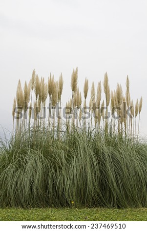 The American pampas grass is often used as an ornamental plant in parks and gardens - stock photo