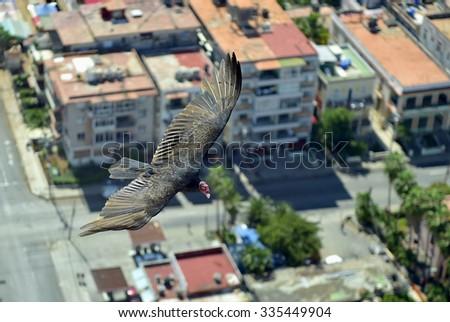 The American vultures (Cathartidae Lafresnaye) soars over Havana Cuba. Birds eye view over city of Havana,Cuba. Aerial view - stock photo