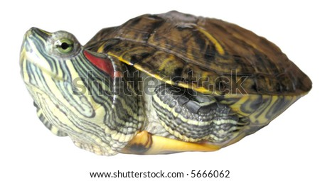The American water turtle