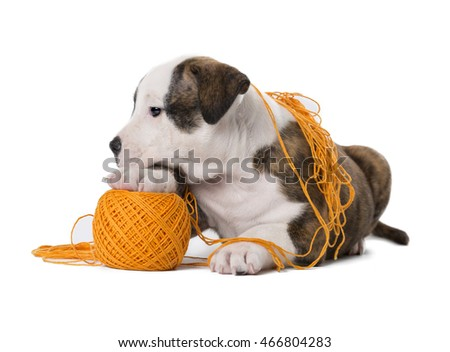 The amstaff puppy with toy on white background in Studio