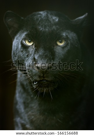 The Amur leopard in its natural habitat - stock photo