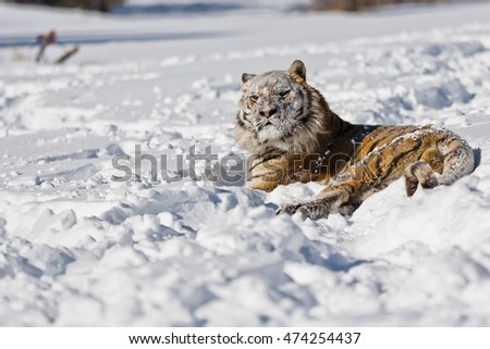 The Amur Tiger habitat. Amur tiger is rolling on snow. Snowflakes are hitting also his face. He arose feeling power.