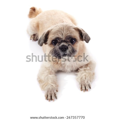 The amusing small doggie of breed of a shih-tzu lies on a white background - stock photo