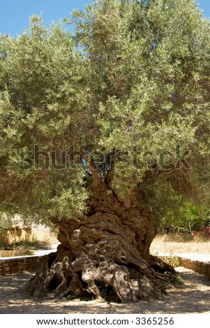 "The ancient olive tree (Olea europaea) at Vouves, in Kolimbari district of Crete. The tree is so old that it has been declared a ""natural monument"". - stock photo"