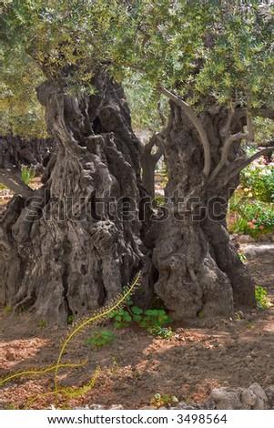 The ancient tree split by a lightning,  in Gethsemane Garden  in Jerusalem - stock photo