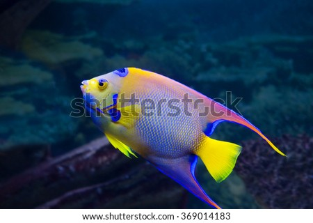 The angelfish For a spot on the head, resembling a crown, The angelfish and got one of his Queen.