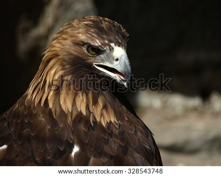 The angry golden eagle (Aquila chrysaetos) with opened beak