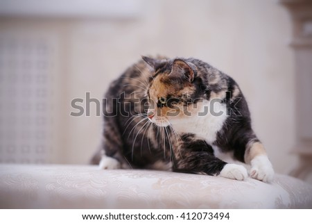 The Angry multi-colored cat. domestic cat with white paws - stock photo