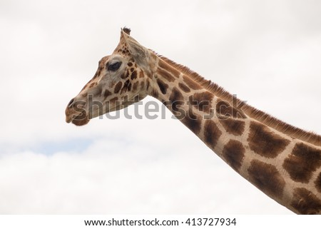 The animal looks as if it were laughing . Laughing Giraffe. In the background of the sky with clouds - stock photo
