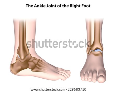 The ankle joint anatomy unlabeled. - stock photo