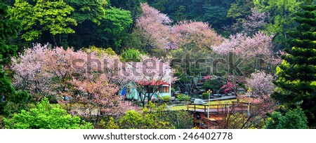 the annual cherry blossom, attracting a large number of tourists for adv or others purpose use - stock photo