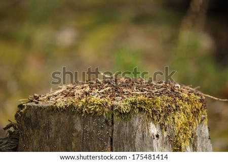The Ant Colony on the Tree Stump - stock photo