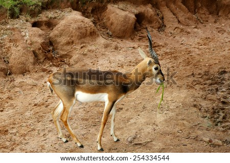 The antelope in Thailand