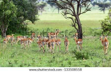 The antelope in the Masai Mara National Park - Kenya, East Africa - stock photo