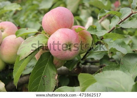 The apples in the garden