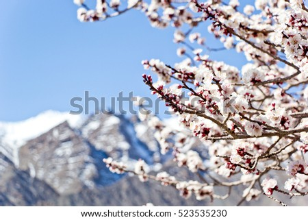The apricot blossom