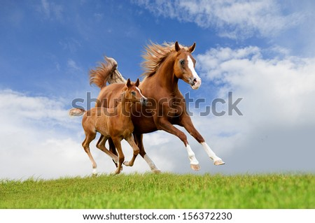 The arab mare with foal running isolated on the field - stock photo