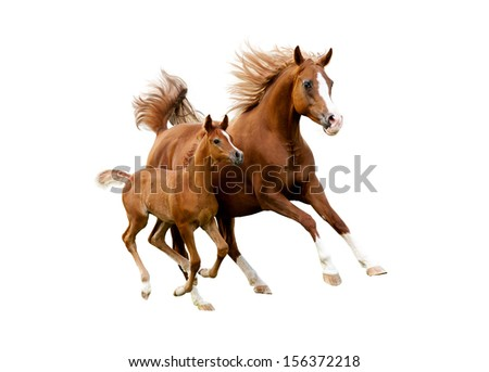 The arab mare with foal running isolated on white background