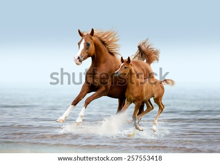 The arab mare with foal running trough the splashes of water - stock photo