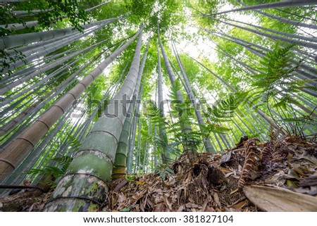 The Arashiyama Bamboo Grove of Kyoto, Japan. - stock photo