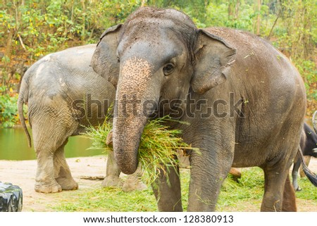 The  Asian Elephant shake off the sand before eat the grass