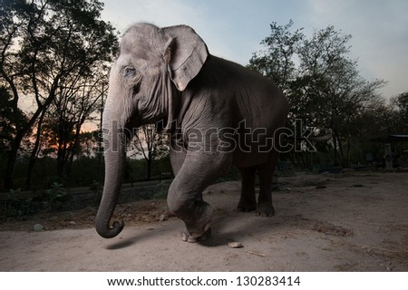 The Asian elephant .Thailand - stock photo