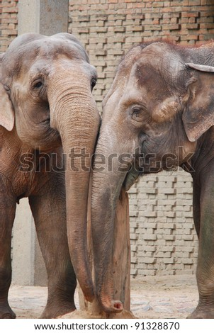 The Asian or Asiatic elephant (Elephas maximus) is the only living species of the genus Elephas and distributed in Southeast Asia from India in the west to Borneo in the east. - stock photo