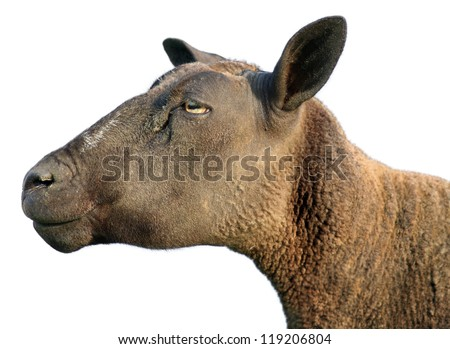 the attentive sheep - stock photo