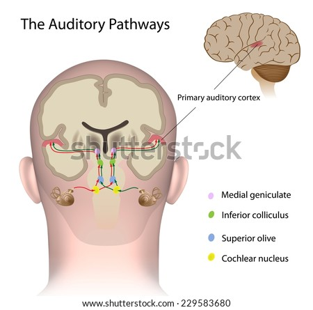The auditory pathways labeled. - stock photo