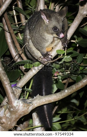 The Australian brushtailed possum sits on a forest tree branch at night in New Zealand. - stock photo