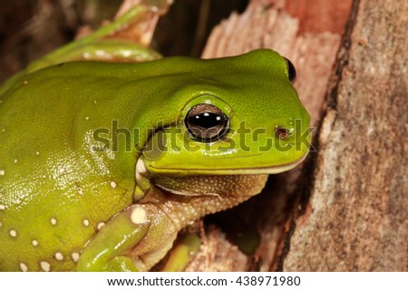 The Australian green tree frog, simply green tree frog in Australia, White's tree frog, or dumpy tree frog is a species of tree frog native to Australia and New Guine. - stock photo