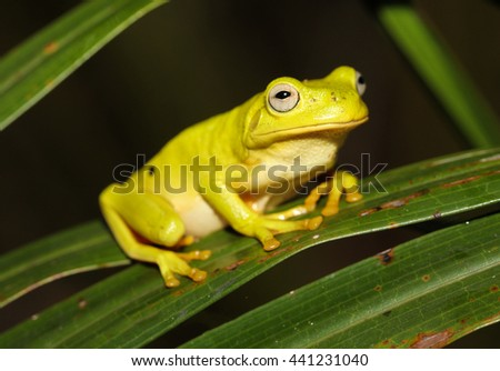 The Australian green tree frog, simply green tree frog in Australia, White's tree frog, or dumpy tree frog is a species of tree frog native to Australia and New Guinea. - stock photo