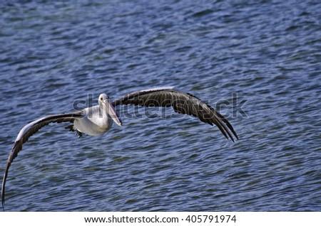 the Australian pelican is flying low over the ocean - stock photo