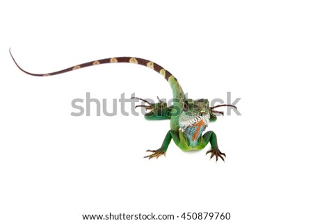 The Australian water dragon, Intellagama or Physignathus lesueurii which includes the eastern water dragon isolated on white background - stock photo