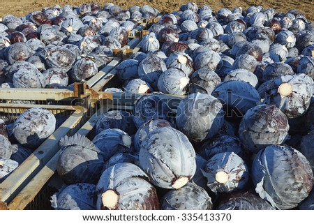 The autumn harvest of red cabbage in the Netherlands - stock photo