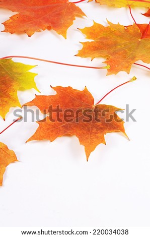 The autumn maple leaves as a  background