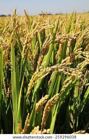 The autumn rice fields  - stock photo