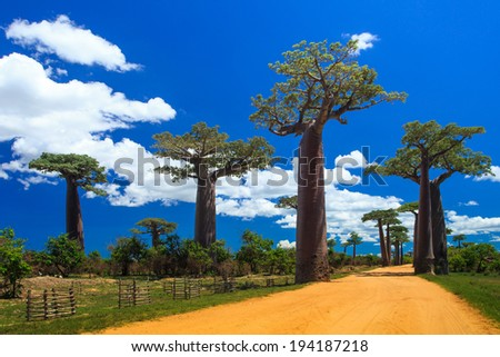 The Avenue or Alley of the Baobabs in Morondova Madagascar
