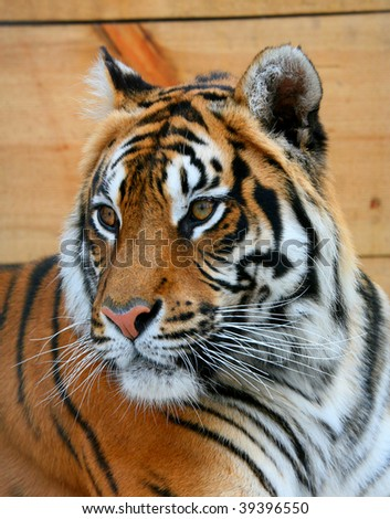 The average plan of a tigress - stock photo
