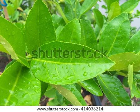 The azalea tree on  nature. - stock photo
