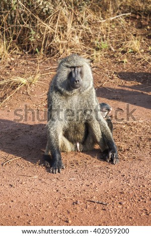 The baboon sitting with naked penis. He is protecting his baby which is hiding himself behind of his father. Akagera National Park. - stock photo