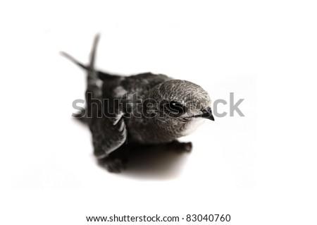 The baby bird of Common Swift (Apus apus) isolated on white - stock photo